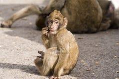 Consumición del mono del bebé Imagen de archivo