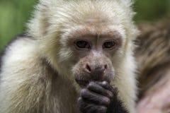 Consumición del mono del capuchón Imagenes de archivo
