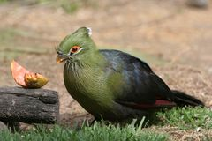 Consumición del pájaro de Knysna Tauraco Imagen de archivo