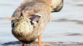Consumición del pato zambullidor almacen de video
