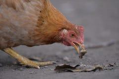 Consumición del pollo Fotos de archivo