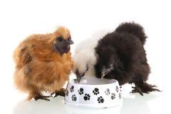 Consumición del pollo de Silkie Foto de archivo libre de regalías