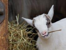 Consumición del retrato del primer de la cabra del niño fotografía de archivo libre de regalías