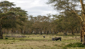 Consumición del rinoceronte Fotos de archivo