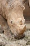Consumición del rinoceronte Fotografía de archivo libre de regalías