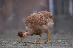 Consumición desnuda del pollo del cuello Imagen de archivo