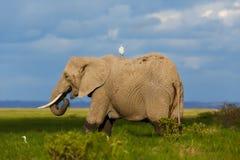 Consumición grande del elefante Fotografía de archivo