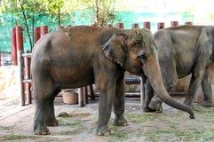 Consumición joven del elefante Imagen de archivo