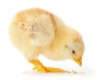 Consumición joven del pollo fotografía de archivo libre de regalías