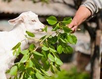 Consumición linda de la cabra del bebé Imágenes de archivo libres de regalías