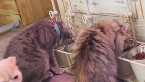 Consumición linda del gato almacen de video