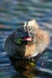 Consumición marina de la iguana Fotografía de archivo libre de regalías