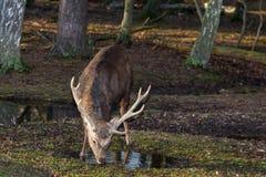 Consumición masculina de los ciervos del sika Imagenes de archivo