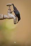Consumición púrpura del sunbird al revés de golpecito al aire libre Imágenes de archivo libres de regalías