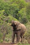 Consumición salvaje del elefante africano Fotos de archivo