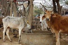 Consumición santa de las vacas Foto de archivo