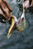 Consumición de dos pelícanos Imagen de archivo libre de regalías