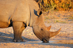 Consumición del rinoceronte blanco Foto de archivo