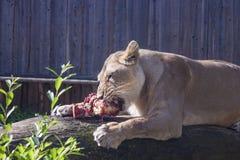 Consumición femenina del león Fotos de archivo