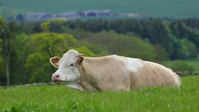Consumición 4K de la vaca almacen de metraje de vídeo