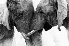 Contact d'éléphant photos stock