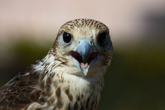 Contact de faucon Photographie stock