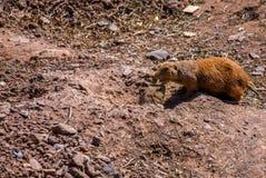 Contact de la marmotte d'Amérique deux ou des groundhogs images stock