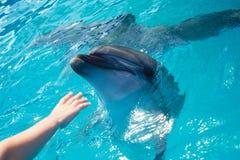 Contact de main d'homme un dauphin Photos stock