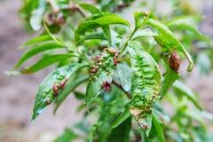 Contact de manifestation de la maladie de feuille les feuilles d'arbre Photographie stock