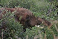 Contact visuel d'éléphant image libre de droits