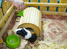 Contact Zoo. Animal guinea pig and rabbit are behind the fence royalty free stock photos