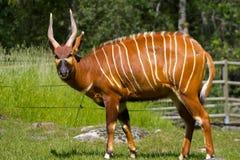 Contacto visual del Antilope imagenes de archivo