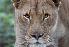 Contacto visual del león Foto de archivo libre de regalías