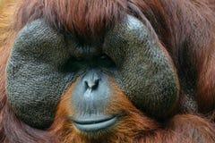 Contacto visual del orangután Foto de archivo libre de regalías