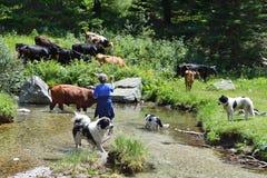 Contadina bulgara con il bestiame in pascolo fotografie stock