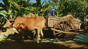 Contadino che scarica fieno dal carretto di manzo, carretto della mucca stock footage