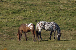 Contagious Spots. Horses appear to have spots transferring while grazing in the pasture stock photo