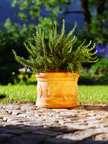 Container design with rosemary. Terracota container with fresh rosemary in front of garden scene Stock Photography