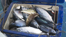 The container, filled to the brim with fish. Lucky Tuna fishing in the Andaman Sea royalty free stock images
