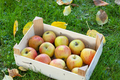 Container with fresh apples Stock Photography