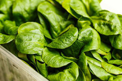 Container of fresh green baby spinach leaves. For use as a salad ingredient in a healthy diet concept Royalty Free Stock Photography