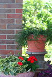 Container Garden. Potted greenery and geraniums with an old milk jug stock photos