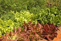 Container Garden of Various Lettuce. This container garden grows organic varieties of lettuce including green and red leaf, and some carrots, and garlic plants stock photo