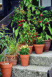 Container garden vegetables plants in pot. Stock Photos