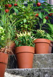 Container garden vegetables plants in pot. Ornamental container, vegetable garden in terracotta pots. Poupila pepper plant, Mirabell tomato plant, bay leaf and Royalty Free Stock Photo