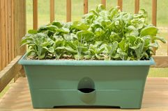 Container Gardening. Container garden on a wood deck with shallots, lettuce, and spinach. 12MP camera Royalty Free Stock Image