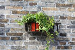 Container gardening potted plant. Potted plant be hung on the red wall Royalty Free Stock Photo