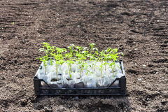 Container with green seedlings of tomato plant Stock Photo