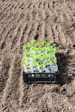Container with green sprouts of tomato plant Stock Photos