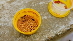 Container with nasty worms for fishing. Group Of Maggots stock footage